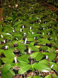 We supply Flask Orchids and Flowering Orchids